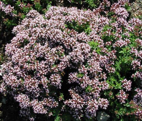 Produktbild Origanum vulgare 'Compactum'