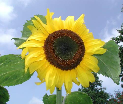 Produktbild Saatgut: Helianthus annuus, großblütig