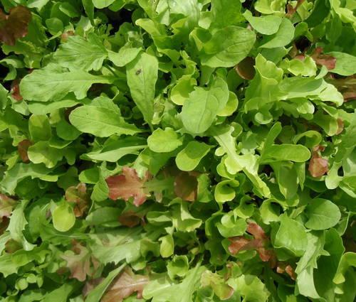 Produktbild Saatgut: Salatmischung 'Misticanza'