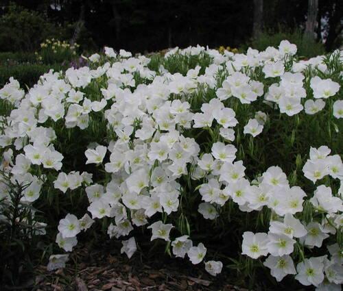 Produktbild Oenothera speciosa 'Alba'