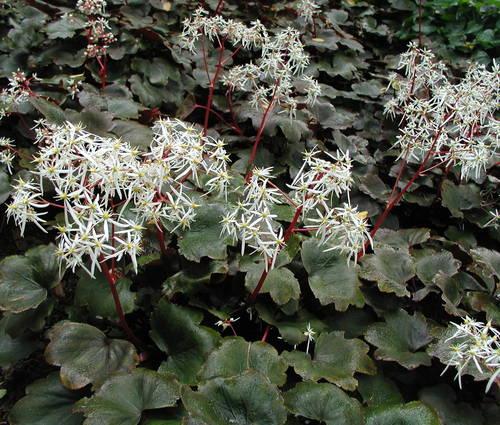 Produktbild Saxifraga cortusifolia var. fortunei 'Rubrifolia'
