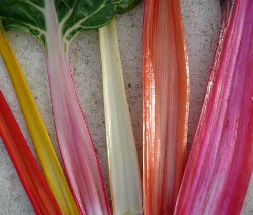 Produktbild Saatgut: Mangold 'Rainbow'