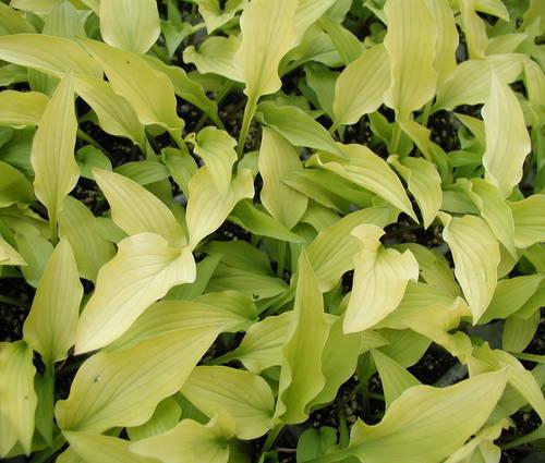 Produktbild Hosta Hybride 'Goldene Woge'