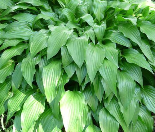 Produktbild Hosta lancifolia
