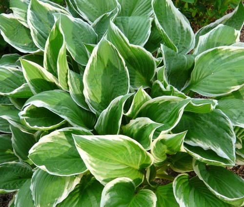 Produktbild Hosta Hybride 'Undulata Albomarginata'