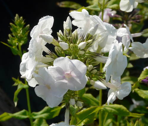 Produktbild Phlox paniculata 'Monte Cristallo'