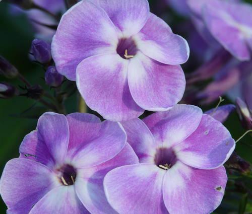 Produktbild Phlox paniculata 'Violetta Gloriosa'