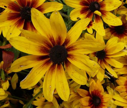Produktbild Saatgut: Rudbeckia hirta 'Herbstwald'