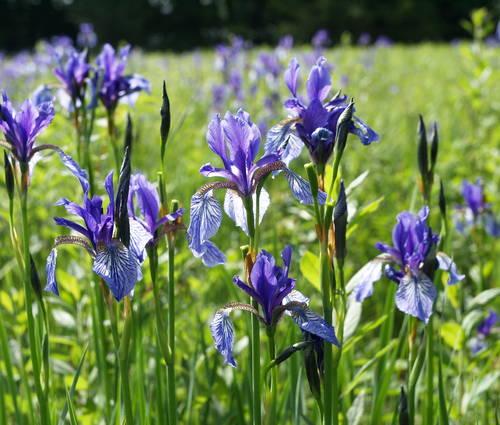 Produktbild Iris sibirica (Wildform)