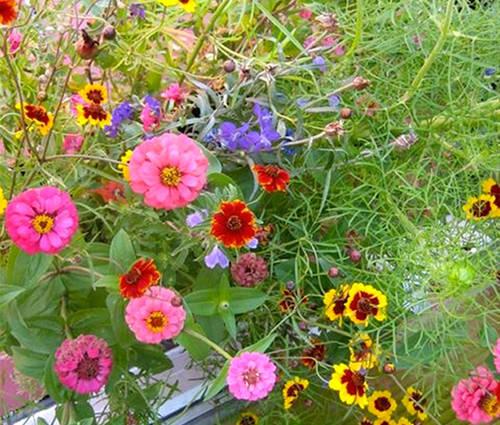 Produktbild Saatgut: Sommerblumenmischung Feenwiese