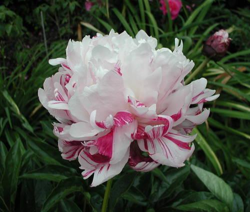 Produktbild Paeonia lactiflora 'Candy Stripe'