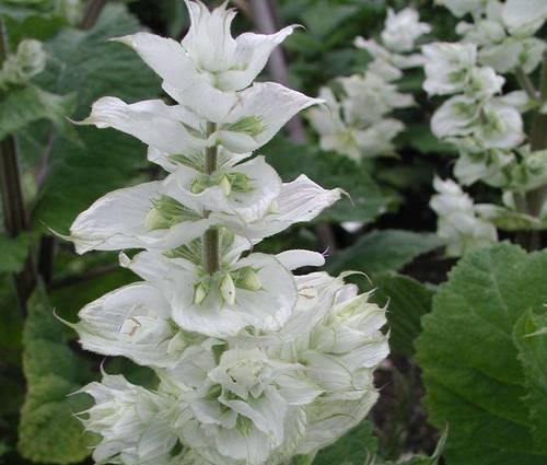 Produktbild Salvia sclarea var. turkestanica 'Vatican White'