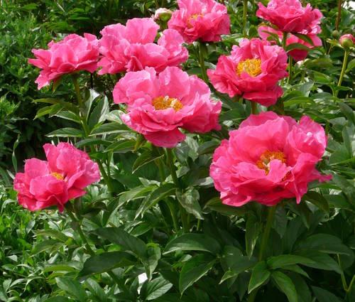 Produktbild Paeonia Hybride 'Paula Fay'