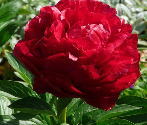 Produktbild Paeonia Hybride 'Henry Bockstoce'