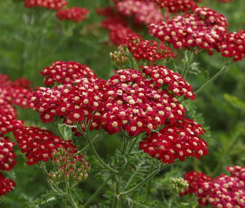 Produktbild Achillea Millefolium-Hybride 'Petra'