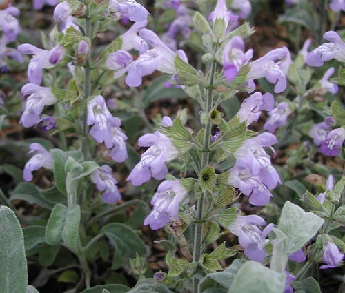 Produktbild Salvia officinalis 'Nazareth'