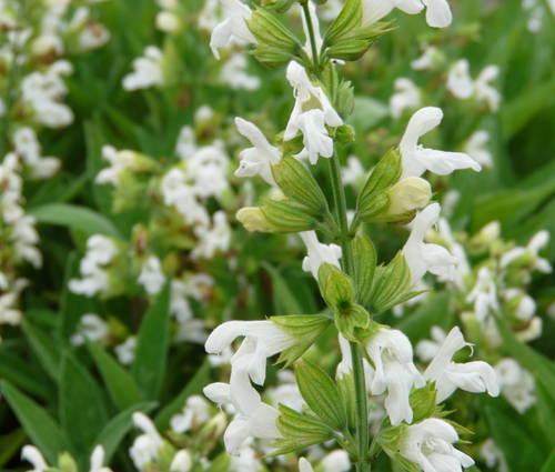 Produktbild Salvia officinalis 'Nana Alba'