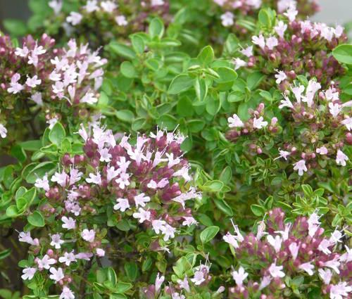 Produktbild Origanum vulgare (Wildform)