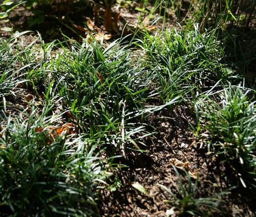 Produktbild Ophiopogon japonicus 'Minor'