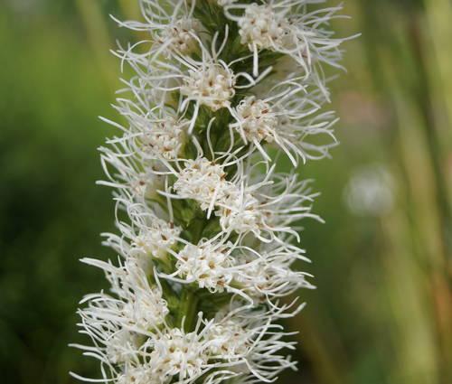 Produktbild Liatris spicata 'Floristan Weiß'
