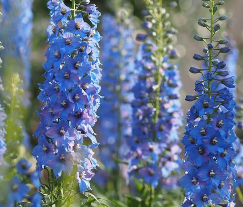 Produktbild Blüten-Ouvertüre in Blau
