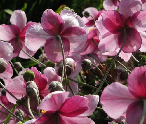 Produktbild Anemone Japonica-Hybride 'Rosenschale'