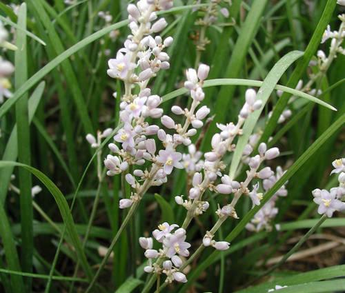 Produktbild Liriope graminifolia