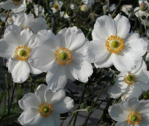 Produktbild Anemone Japonica-Hybride 'Honorine Jobert'