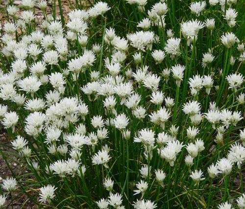 Produktbild Allium schoenoprasum 'Corsican White'