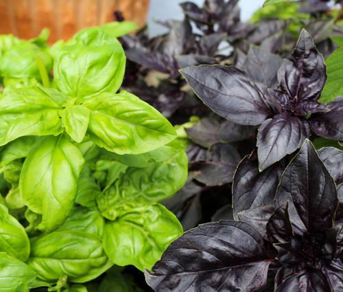 Produktbild Saatgut: Basilikummischung , grün/rot