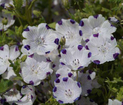 Produktbild Saatgut: Nemophila maculata