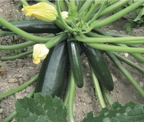 Produktbild Saatgut: Zucchini 'Black Beauty'