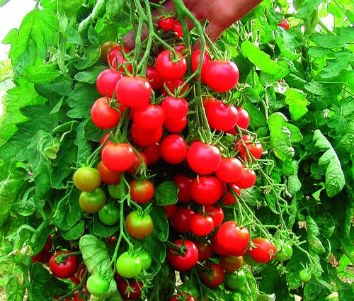 Produktbild Saatgut: Tomate 'Zuckertraube'