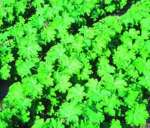 Produktbild Saatgut: Chinesische Gemüsemalve