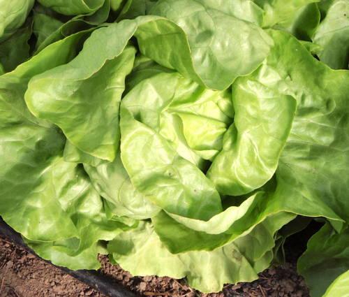 Produktbild Saatgut: Kopfsalat 'Ovation'