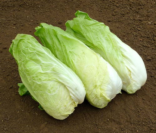 Produktbild Saatgut: Zichoriensalat 'Zuckerhut'