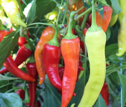 Produktbild Saatgut: Paprika 'Antalya'dan'
