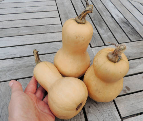 Produktbild Saatgut: Speisekürbis 'Mini-Butternut'