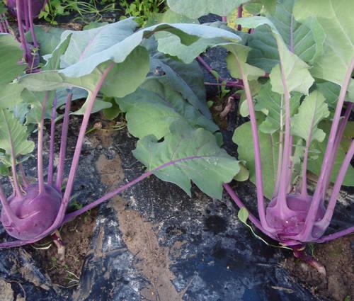Produktbild Saatgut: Kohlrabi 'Blaro'