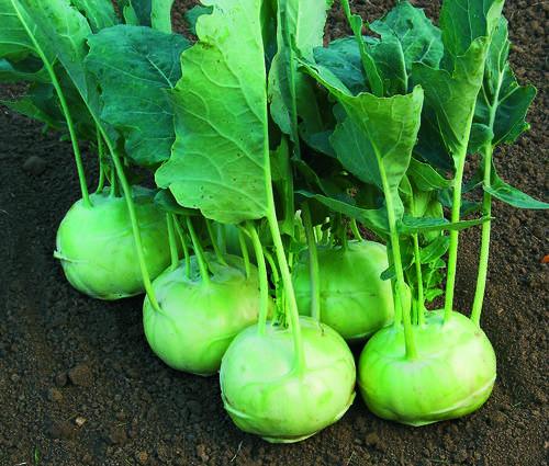 Produktbild Saatgut: Kohlrabi 'Lanro'