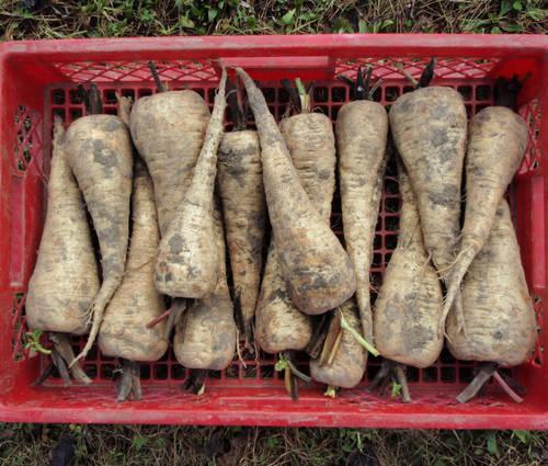 Produktbild Saatgut: Pastinak 'Halblange Weiße'