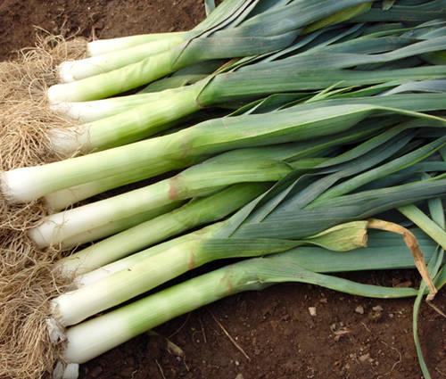 Produktbild Saatgut: Lauch 'Blaugrüner Winter'