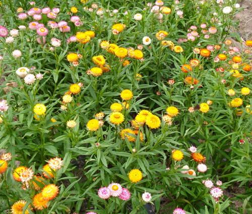 Produktbild Saatgut: Helichrysum bracteatum