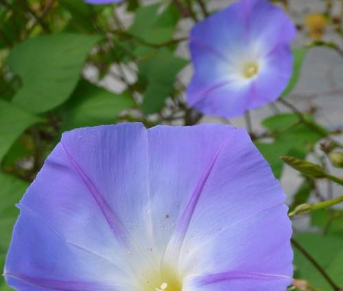 Produktbild Saatgut: Ipomoea purpurea 'Star of Yelta'