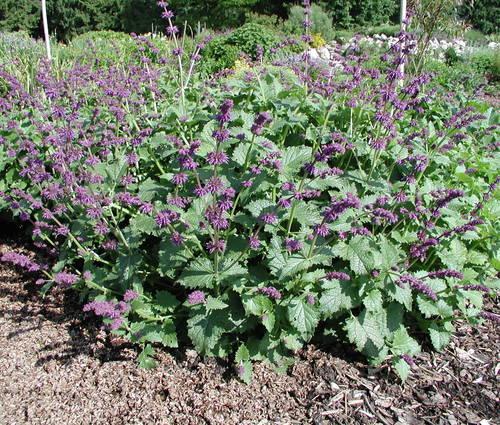 Produktbild Salvia verticillata