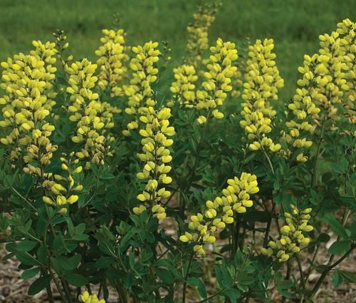 Produktbild Baptisia Hybride 'Lemon Meringue' ®