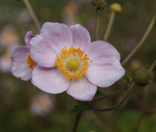 Produktbild Anemone hupehensis 'Ouvertüre'
