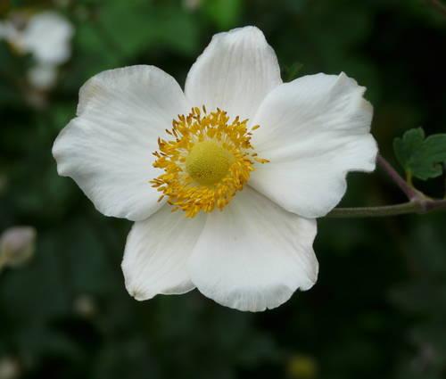 Produktbild Anemone hupehensis fo. alba