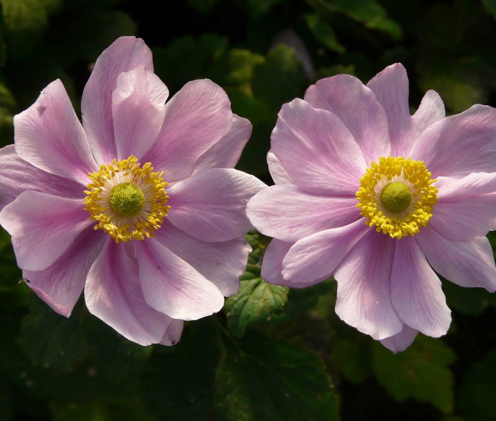 Paket mit 10 Pflanzen Anemone Stauden