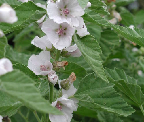 Produktbild Althaea officinalis 'Romney Marsh'